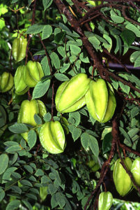 Carambola, also known as starfruit