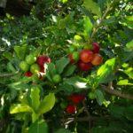 Acerola / barbados cherry / cereza