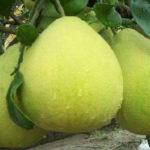 Grapefruit (Grei-fru o Toronja)