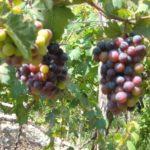 Uva de playa – sea grape